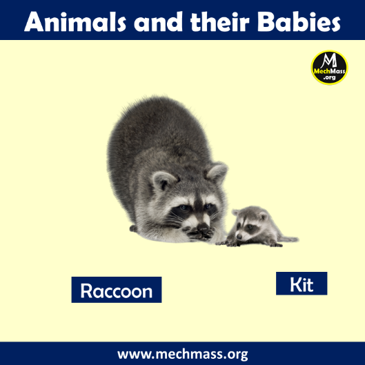 baby name of racoon